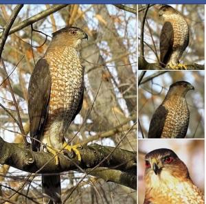 Coopers Hawk, February 25, 2015