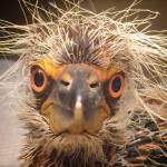 Baby Night Heron, by Sharon Zeigler, July, 2014