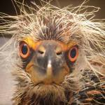 Baby Night Heron, by Sharon Zeigler, July, 2014