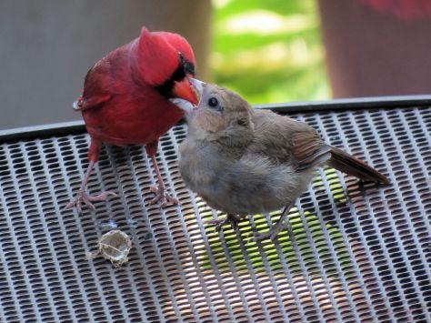 Father Cardinal Feeding Baby